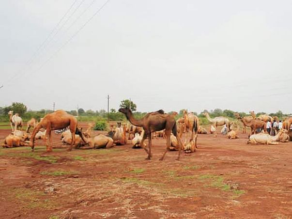 Support Operation Karuna: 87 Camels Rescued by PFA Hyderabad