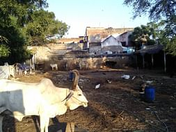 Help Build A Shelter For Temple Cows Rescued From Slaughter