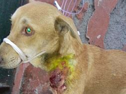 Your help needed for treatment of stray dog with critical condition