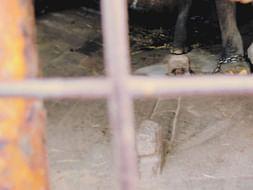 Help Us Free The Elephants- Mala & Shyla