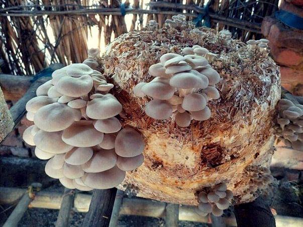 Helping Hand For A Mushroom Farm