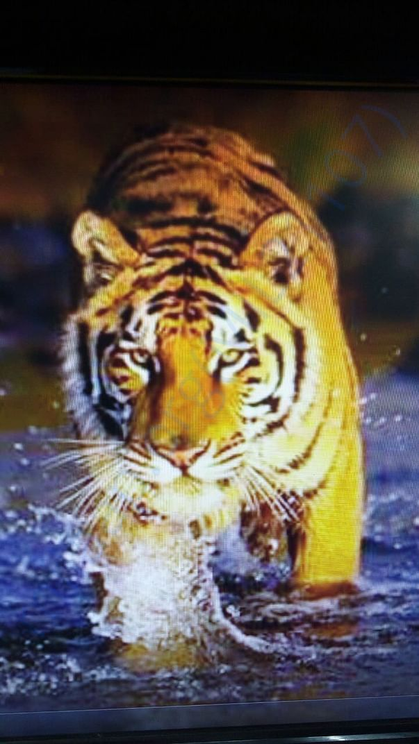 Help FFAR, India save the Tiger