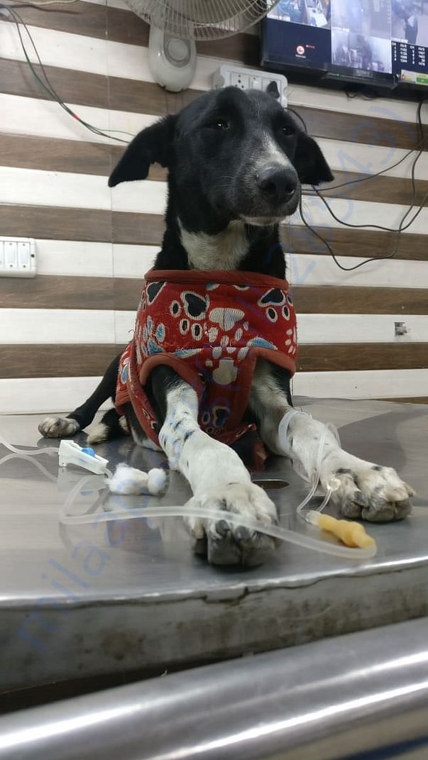 Cookie receiving treatment for tick fever at Vets n Pets, Noida