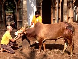 Raja The Bull Is Suffering In Pain From An Acid Attack