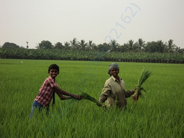 Student assisting his mother in rice fields