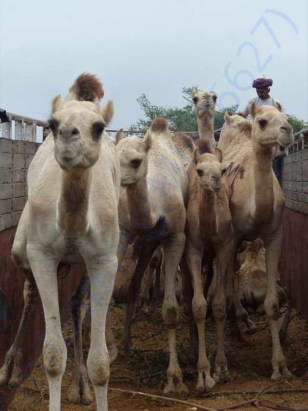 In Safe Hands, Now Pfa Sirohi care... All Rescue Camels Adopted
