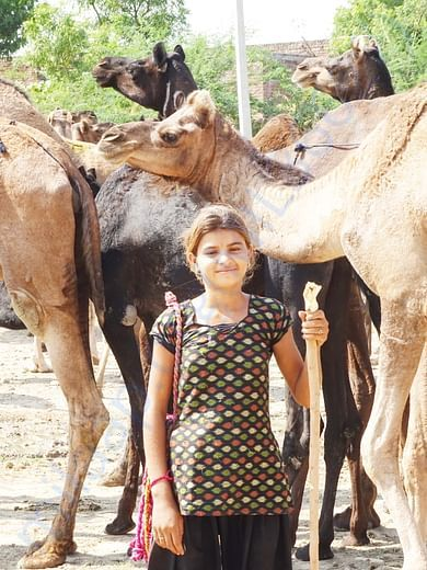 In Safe Hands, Now Pfa Sirohi care... All Rescue Camels Adopted by pfa