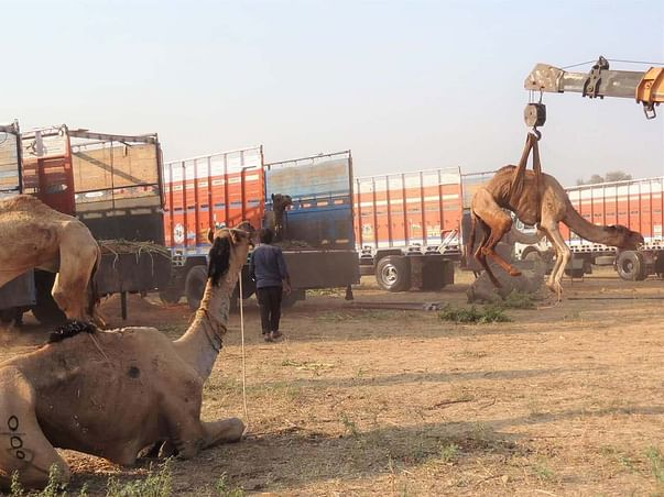 Help PFA Sirohi For Their Permanent  Rescue Camels  Shelter Project.