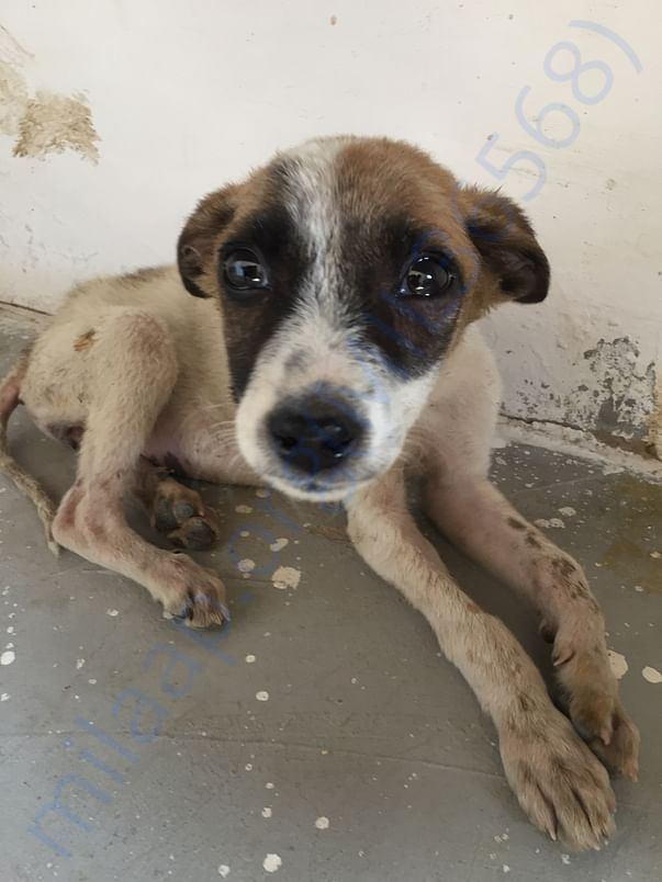 Piku was rescued from a gutter of society covered with flees & bruces