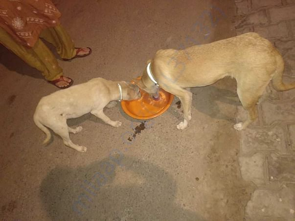 We feed them with dry dog food and gravy mixed with rice.