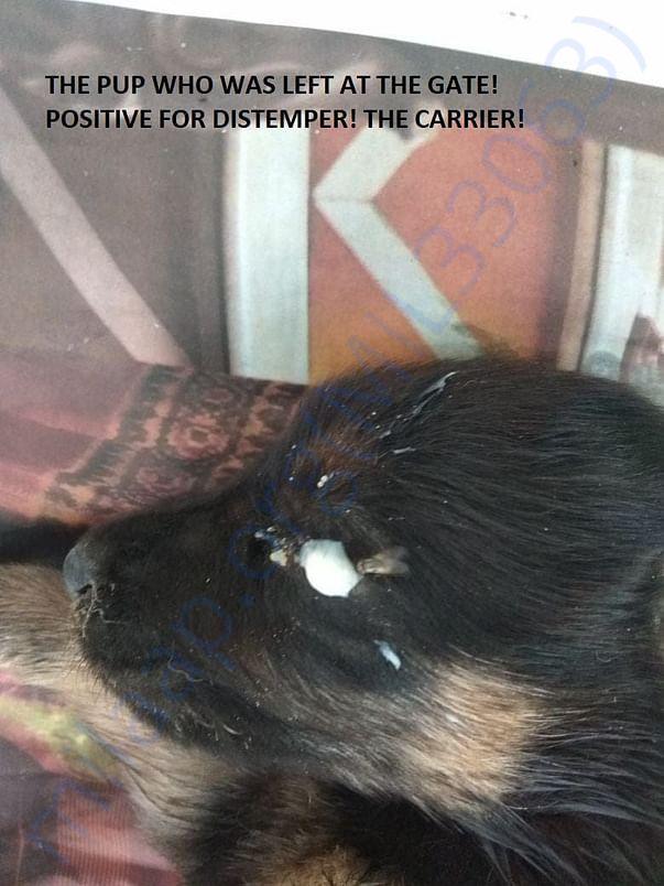Abandoned Distemper Pup