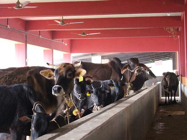 Sponsor for maintenance of more than 300 cattle in Govanithashraya