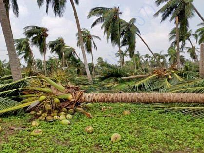 Affected coconut tree