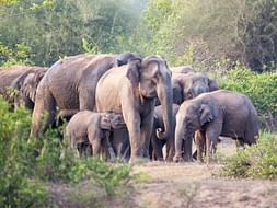 #SaveElephants Campaign & Petition Of FFAR India- Donate Today!