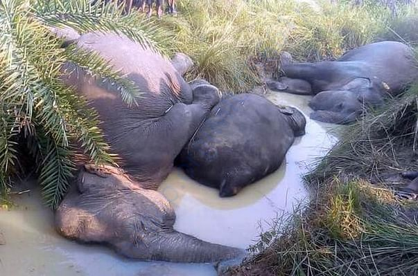 Pictures of Elephants dying owing to electrocution