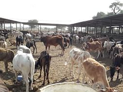 Help Feed and treat 1200 Cattles rescued from slaughter house