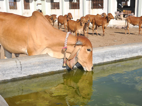 Please help Cows from the Heat!