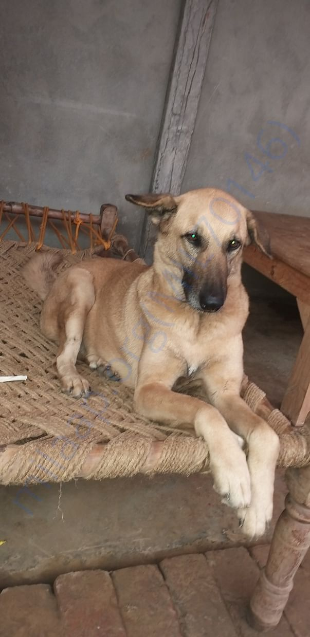 Our Rescued Baby Anatolian Shepherd
