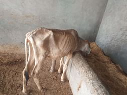 Help cows for Food,Water and Medical