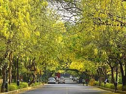 Amaltas adding beauty to the bustle in the streets