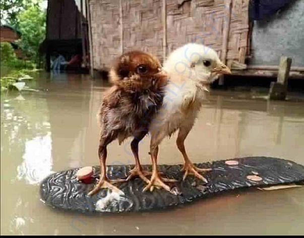 चिऊ काऊ, कोंबड्या, गुरे, आणि माणसे ही यांच्या अस्तित्वाची लढाई