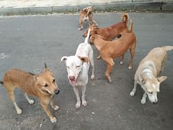 Help Feed and neuter/spay stray dogs in Anna Nagar,Chennai.