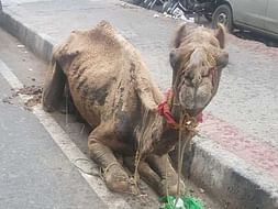This Camel Needs Your Help!