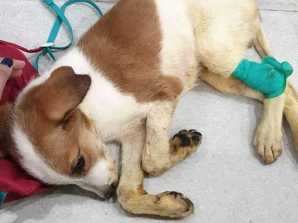 Parvo Case: BHOLI's son Cookie needs urgent medical care.