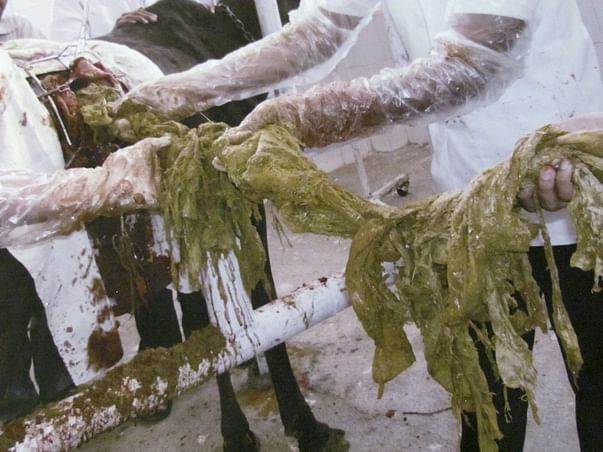 Help 1000 Sick and Old age Cows which are suffered from Polythene