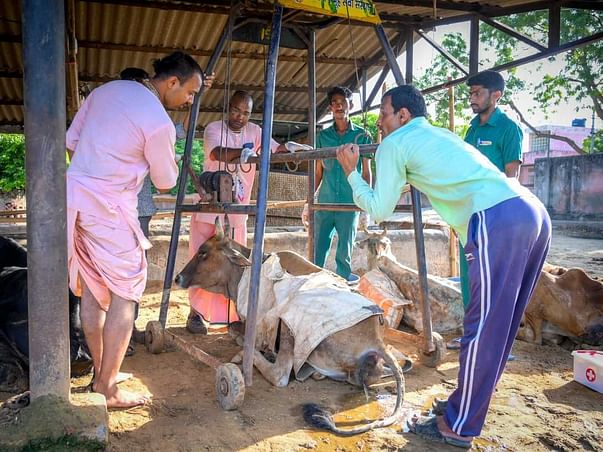 FEED THE NEED| 15000 Stray cows of Jaipur need daily feed