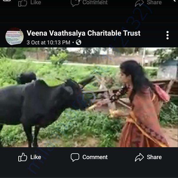 Feeding a stray cow