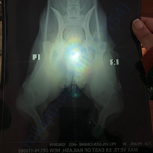 An X-ray of her bent hind legs, probably caused by accident