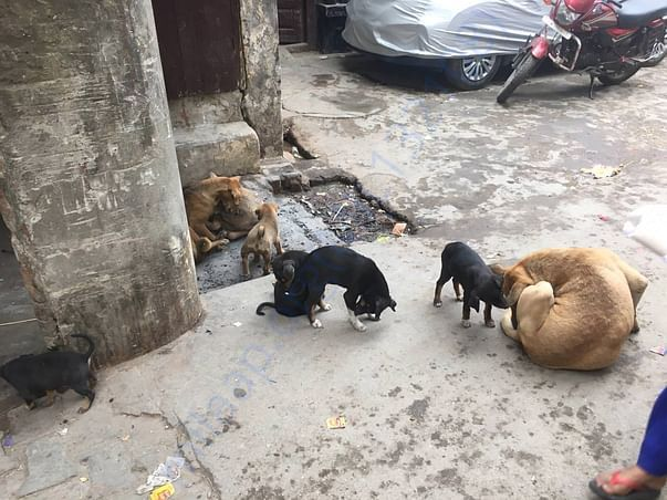 Condition of stray dogs in Meerut