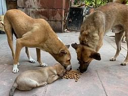 Help In Feeding Stray Dogs
