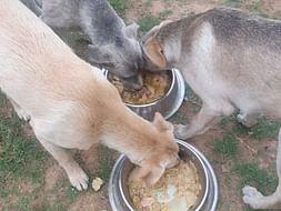 Help In Feeding Innocent voiceless fur babies