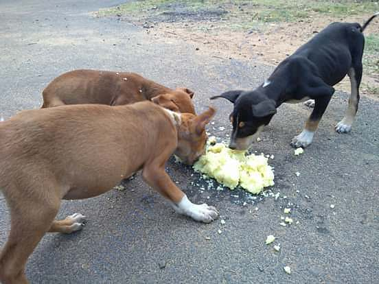 STREET DOGS ARE DYING DUE TO FOOD,PLEASE HELP.....