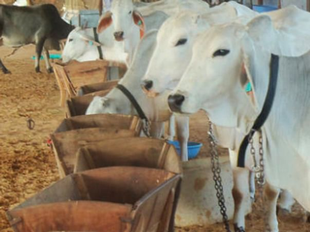 Help To Feed Cows During COVID-19 Lockdown