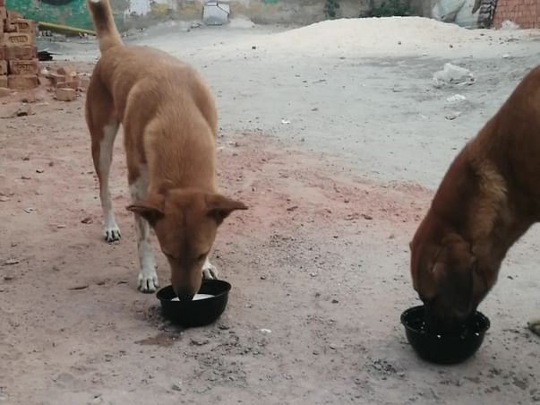 Our 500+ dogs & countless cows are hungry... Please donate for hunger