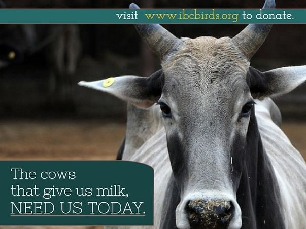 Join Us To Save Indian Cows