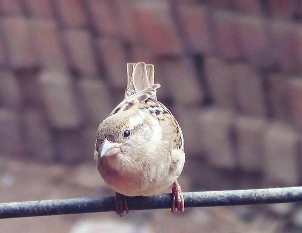 Sparrow in Nursarai