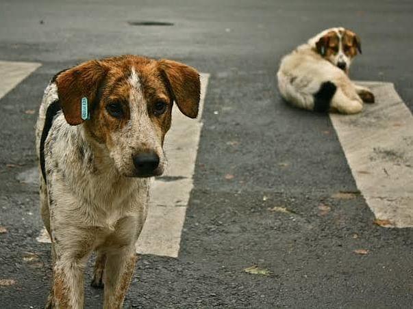 raise money to feed street dogs