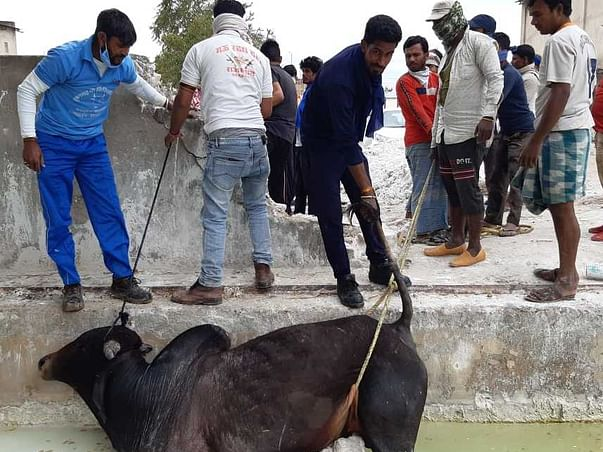 Help to run accidental cows and injured animals hospital