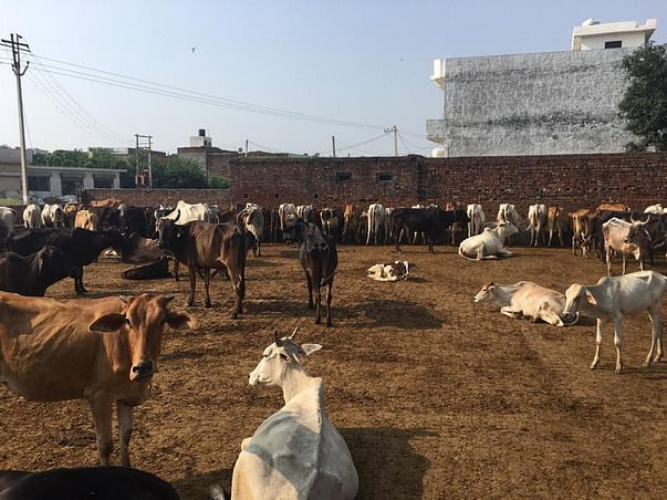 My Friend Dinesh need help To Build Cowshed For The Abandoned Cows