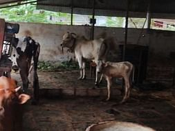 HELP FEEDING COWS DYING BECAUSE OF HUNGER