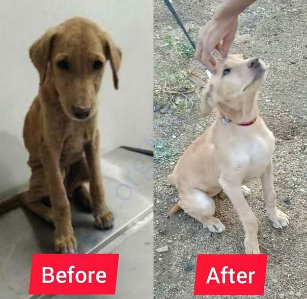 Arya was found malnourished and affected with severe mange