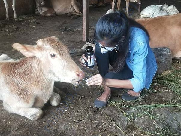 Krishna our first bovine rescue under treatment for anemia and weakne