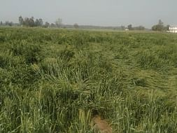 Please Help To Recover From Crops Fallen In Field.