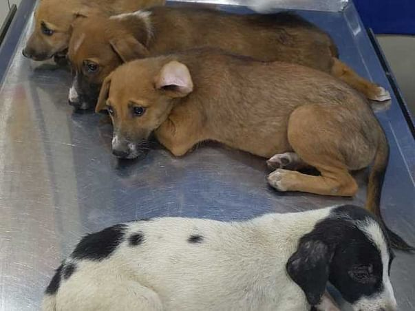 Help These Parvo Infected Pups Revive