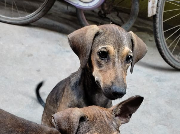 Help to spay three female dogs