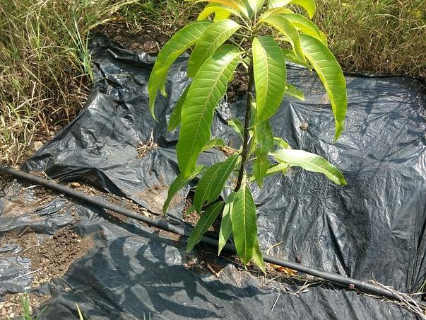 Let's Plant Mango trees